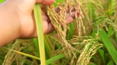 肥沃 : Womans Hand Holding a Stem of Yellow Ripe Rice `Crops