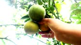 citrom és narancsfélék : pick orange that is ripe between the green oranges on the tree