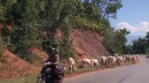moço : Myanmar, Yangon. 10.11.2013 Grazing cows in the mountainous area. Herd of cows walking along the road. Mountain serpentine. Stock Footage