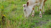 vitela : Cow grazing on a green meadow. Close-up of a cow. Calf chewing grass. Farm outside the city. Agriculture. Vídeos