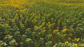 arazi sahibi : Lots of sunflowers. Sunflower field in summer.