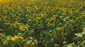 arazi sahibi : Field of sunflowers. Field and sunlight in summer.