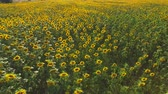 arazi sahibi : Many yellow sunflowers. Field in summer beautiful view.