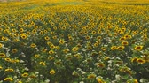 arazi sahibi : Yellow sunflower field. Plants and sunlight in summer.