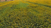 arazi sahibi : Field of yellow sunflowers. Nature and road. Stok Video