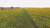 arazi sahibi : Yellow sunflower field and sky. Road and nature.