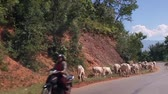 moço : Grazing cows in the mountainous area. Herd of cows walking along the road. Mountain serpentine.