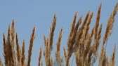 botany : spikelets are moving on wind Stock Footage