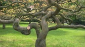emaranhado : Old tree with twisted branches. Dry oak in the park.