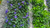 ипомеи : Purple morning glory. Climbing flowers on the wall.