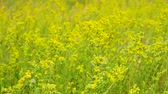 агрономия : Wildflowers are moving in the wind. Summer is in full swing. Field in beautiful yellow flowers. Стоковые видеозаписи