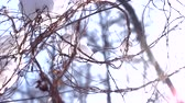 thin ice : Snow falling, tree branches. Dry plant macro, winter. Stock Footage