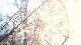 thin ice : Tree branches, snow and sunlight. Winter morning, bright sun.