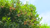 mandarinka : Tangerines on branches. Ripe fruits and green leaves.
