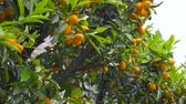 tangerina : Tangerines on tree branches. Ripe citrus fruits. Stock Footage