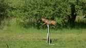 comando : Jumping over obstacle. Shepherd dog is jumping over obstacle, slow motion.