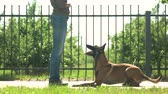 belga : Master and obedient dog. Smart dog is joyfully executing commands. Vídeos