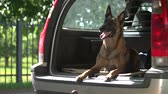 belga : Dog is lying into a car trunk. Belgian shepherd dog is obediently lying into a car trunk and looking outside. Vídeos