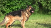 guardian dog : Barking and biting dog. Shepherd dog is barking and biting a man.