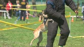 esfarrapado : 27.05.2017 - Kyiv,Ukraine. Trained dog is biting a man with a special protective suit. Trained belgian shepherdis biting a man with a special protective suit.