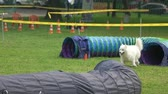decoy : Samoyed dog is coming out of a tunnel and keep going. Samoyed dog is training with dog agility equipment.