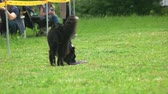 delighted : Dog is picking up a puller toy. Border collie dog is picking up a puller toy and running away. Stock Footage