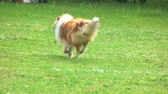 delighted : Rough Collie dog is running in slow motion. View from the back.