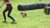 decoy : 27.05.2017 - Kyiv, Ukraine. Woman is teaching her dog to get into agility tunnel. Exercice with agility tunnel. Stock Footage