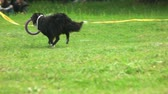 delighted : Border collie dog is running with a puller toy. Border collie dog, backside view, slow motion. Stock Footage