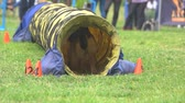 овчарка : Dog is doing agility exercises. Shepherd dog is doing agility exercises by passing through tunnel. Sheepdog run in slow motion. Стоковые видеозаписи