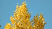 buk : Top of a yellow autumn tree. Clear blue sky background. Dostupné videozáznamy