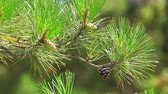 веточка : Close-up of a pine tree branch. Pitch Pine trees with fresh and green pine cones and green pine needles.