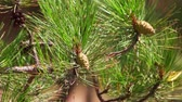 веточка : Green pine cones. CLose up, pine tree branch motion, macro filming.