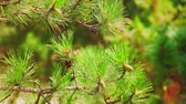 arremesso : Pine tree branches with cones close up. Green forest landscape, close up.