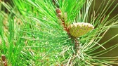 веточка : Green pine tree cone on branch with big needles. Close up. Macro filming.