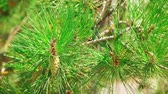 веточка : Pine tree branch with cones in green forest. Macro nature background.