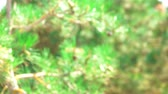 arremesso : Blurred pine tree in forest. Green nature background. Vídeos
