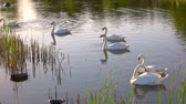 hattyú : Group of white swans floating in pond. Six swans feeding from pond. Beauty of wild life.