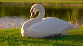 palmado : White swan on green meadow. Beautiful white swan pecking feathers on green lawn against pond background. Vídeos