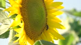 urlop : Close up bee on sunflower. Bee flying away.