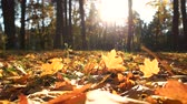 Fall foliage under sun light. Fall leaves carpeting the ground. Beautiful season in woodland.