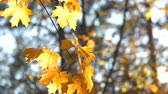Warm sunlight shining through golden autumn leaves. Yellow leaves on the branch in autumn forest, blurred background.