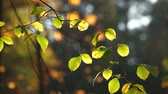 Fresh birch leaves in solar beams. Autumn birch leaves on blurred background. Beautiful autumn wallpaper.