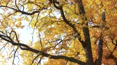 Autumn tree with yellow leaves in fall. Tree with ornage and yellow leaves in autumn forest. Seasonal autumn nature.