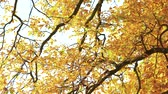 Close up tree with golden autumn leaves. Seasonal fall scene. Beautiful autumn foliage.