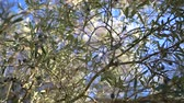 zeytinyağı : Closeup of Ripe Olives on the Tree with Leaves Stok Video