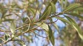 tonificado : Close-up view of green oleander branch tree in the sunshine