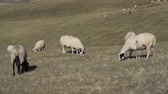 Chipped sheep graze in meadows and fields in the highlands Filmati Stock