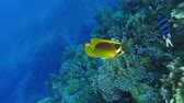 sealife : Raccoon Butterflyfish Near Coral Reef, Slow Motion Stock Footage