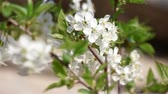 веточка : Cherry flowers blooming in springtime. Shallow focus depth.